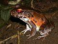 Smoky Jungle Frog (Leptodactylus pentadactylus) (6941271108).jpg