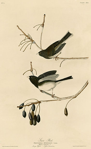 Plate 13 of Birds of America by John James Aud...