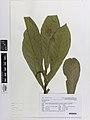 Solanum (AM AK370124).jpg