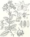 Solanum sanches-vegae journal.pone.0010502.g003.jpg