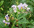 Solanum wendlandii, a light-flowered version. (11396977395).jpg