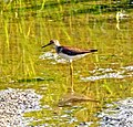 Solitary Sandpiper in pond by Holland River, Ontario (14556600497).jpg