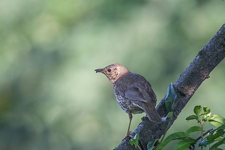 Song Thrush Lodz(Poland)(js)01.jpg