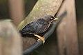 Sooty Thrush (Turdus nigrescens) (5772321374).jpg