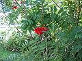 Sorbus aucuparia kpjas 19082005 2.jpg