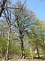 Sorbus torminalis sl27.jpg