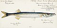Southern Pacific fishes illustrations by F.E. Clarke 116.jpg