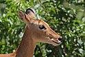 Southern puku (Kobus vardonii vardonii) female head.jpg