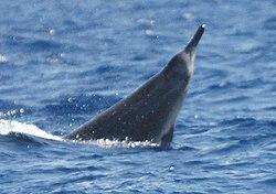 Sowerby's beaked whale.jpg