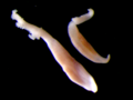Sparicotyle chrysophrii.png