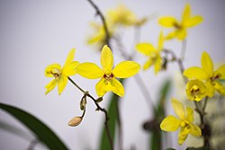 Spathoglottis philippinensis 'Chihon Sunny' Lubag-Arquiza, Orchid Digest 70- 171 (2006) (26773841748).jpg