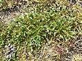 Spergularia rubra sl35.jpg