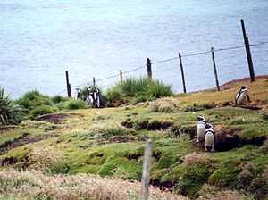Carcass Island - Penguin burrows are often fenced to protect sheep from injury.