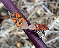 Spilostethus pandurus.Lygaeidae. Hemiptera. - Flickr - gailhampshire.jpg