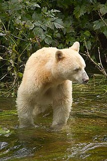 Kermode bear subspecies of the American Black Bear, British Columbia, Canada