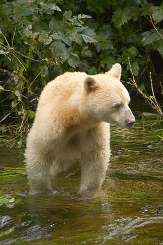 American black bear - White-furred Kermode bear