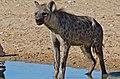 Spotted Hyena (Crocuta crocuta) (6471955753).jpg
