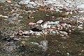 Spotted Sandpiper (9317168228).jpg