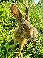 Sri Lankan Wild rabbit.jpg