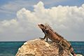 St Thomas Marriott Iguana 7.jpg