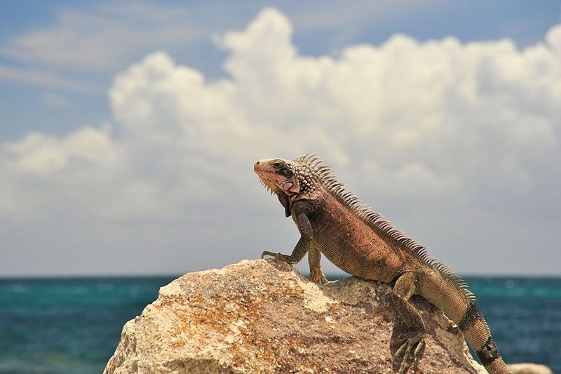 A Green Iguana sunbathing at Marriott on St. Thomas. Image and caption courtesy Fred Hsu via Wikimedia Commons.