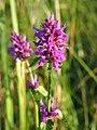 Stachys officinalis Bukwica zwyczajna 2020-07-12 06.jpg