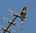 Starling by m.shattock.jpg