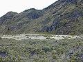 Starr-021003-0060-Pinus patula-habitat-Old Waikau trail HNP-Maui (24185057509).jpg