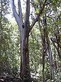 Starr-040812-0046-Eucalyptus sp-habit-Kauhikoa hill-Maui (24689117586).jpg