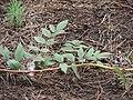 Starr-070908-9140-Rubus niveus-form b leaves thorns and stem-Polipoli-Maui (24892644365).jpg