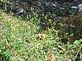 Starr-080531-4853-Medicago lupulina-flowering habit-Halsey Dr around residences Sand Island-Midway Atoll (24910859285).jpg