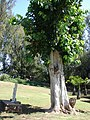 Starr-090429-6477-Ficus religiosa-habit-Temple by Baldwin Beach-Maui (24859493481).jpg