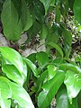 Starr-090618-1245-Syzygium malaccense-white flowers and leaves-Wailua-Maui (24670541900).jpg