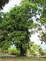 Starr-090623-1743-Adenanthera pavonina-flowering habit-Hana-Maui (24940964626).jpg