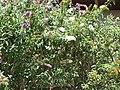 Starr-090721-3226-Buddleja davidii-white flower form-Wailuku Heights-Maui (24674920850).jpg