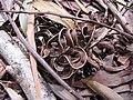 Starr-090804-3701-Acacia melanoxylon-leaves and seedpods on ground-MISC HQ Piiholo-Maui (24603540209).jpg