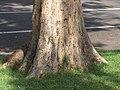Starr-090818-4470-Pterocarpus indicus-trunk and bark-Kihei-Maui (24854526682).jpg