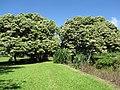 Starr-091104-8994-Aleurites moluccana-habit-Kahanu Gardens NTBG Kaeleku Hana-Maui (24870463472).jpg