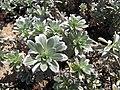 Starr-091106-9359-Heliotropium anomalum var argenteum-leaves-Kanaha Beach-Maui (24962777396).jpg