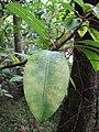 Starr-100430-5488-Charpentiera obovata-leaves-Iao-Maui (25032608995).jpg