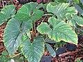Starr-110215-1423-Philodendron sp-habit-KiHana Nursery Kihei-Maui (24707933639).jpg
