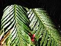 Starr-110307-1881-Blechnum gibbum-frond-Kula Botanical Garden-Maui (25050828686).jpg