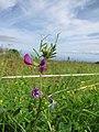 Starr-110405-4814-Vicia sativa subsp nigra-flowers and leaves-Kula-Maui (25055975736).jpg
