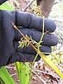 Starr-120425-4822-Dianella sandwicensis-form multipedicellata-Waikapu Valley-Maui (24509050994).jpg