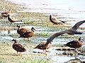 Starr-130911-0981-Cyperus laevigatus-habitat with Laysan Ducks and Brown Noddies-E Lake-Laysan (25104974282).jpg