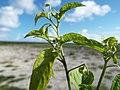 Starr-130915-1671-Solanum americanum-flowers and leaves-Hardpan SW Inland-Laysan (24857821079).jpg