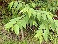 Starr-140222-0390-Trema orientalis-leaves-Hana Hwy-Maui (25240638305).jpg