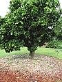 Starr-150301-0360-Citrus sinensis-Washington navel flowering habit-Hawea Pl Olinda-Maui (24634556484).jpg