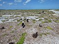 Starr-150328-0890-Coronopus didymus-with Laysan Albatrosses-Northeast Eastern Island-Midway Atoll (25176255181).jpg