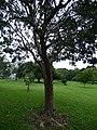 Starr-180406-0731-Bursera simaruba-habit-DOFAW Arboretum Hilo-Hawaii (41369322891).jpg